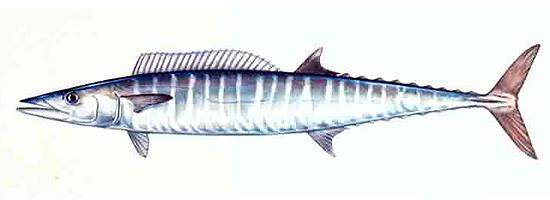 Cá Thu Ngàng hay cá Thu Hũ
